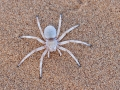 Carparachne aureoflava / Dancing White Lady Spider