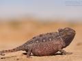 Wüstenchamäleon / Desert Chameleon / Chamaeleo namaquensis