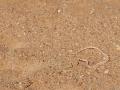 Zwerg-Schnabelnasennatter / Dwarf Beaked Snake / Dipsina multimaculata