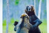 Kämpfende Bären