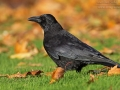 Rabenkrähe, Carrion Crow, Corvus corone corone, Corvus corone, Corneille noire, Corneja Negra, Corneja