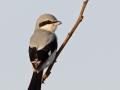 Raubwürger, Great Grey Shrike, Northern Shrike, Lanius excubitor, Pie-grièche grise, Alcaudón Norteño
