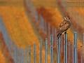 Mäusebussard, Common Buzzard, Buzzard, Eurasian Buzzard, Buteo buteo, Buse variable, Busardo Ratonero