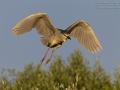 Nachtreiher, Black-crowned Night Heron, Night Heron, Black-crowned Night-Heron, Nycticorax nycticorax, Bihoreau gris, Héron bihoreau, Martinete Común
