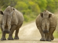 Breitmaulnashorn, Ceratotherium simum, White Rhinoceros, Square-lipped rhinoceros, rinoceronte blanco Rhinocéros blanc, Rotschnabel-Madenhacker, Red-billed Oxpecker, Buphagus erythrorhynchus