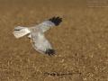 Kornweihe, Hen Harrier, Northern Harrier, Circus cyaneus, Busard Saint-Martin, Aguilucho Pálido