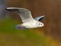 Lachmöwe, Black-headed Gull, Common Black-headed Gull, Larus ridibundus, Mouette rieuse, Gaviota Reidora
