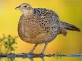 Fasan, Common Pheasant, Pheasant, Ring-necked Pheasant, Phasianus colchicus, Faisan de Colchide, Faisan de chasse, Faisán Vulgar