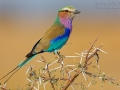 Gabelracke, Lilac-breasted Roller, Coracias caudata