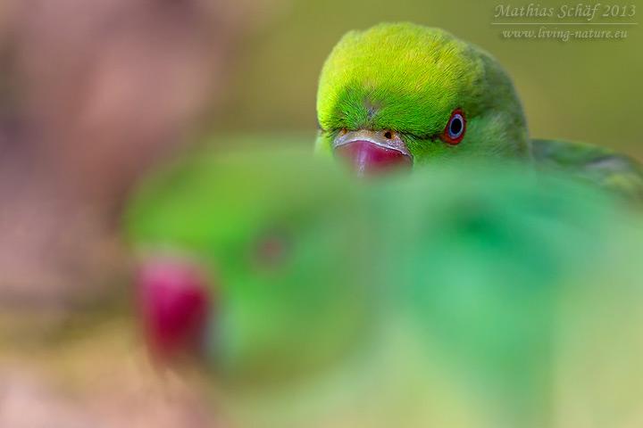 Halsbandsittich, Rose-ringed Parakeet, Psittacula kramer