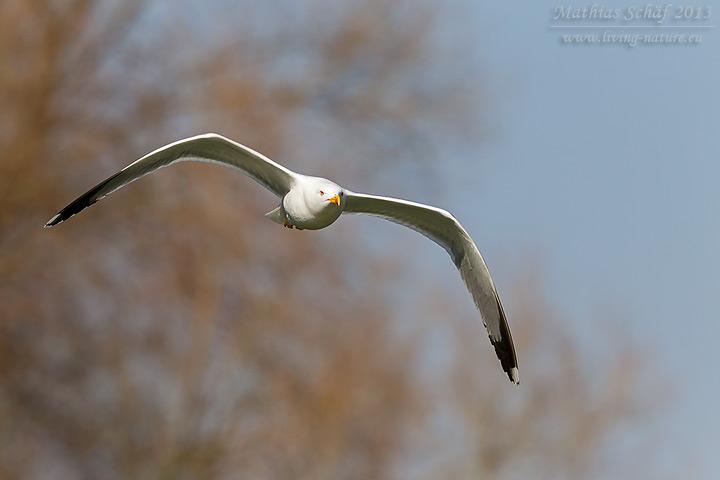 Mittelmeermöwe, Yellow-legged Gull, Larus michahellis
