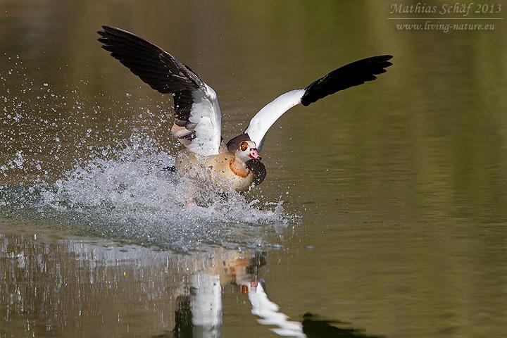 Nilgans, Egyptian Goose, Alopochen aegyptiaca