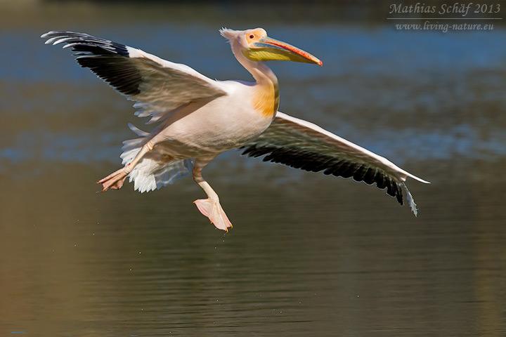 Rosapelikan, Great White Pelican, Pelecanus onocrotalus