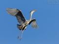 Graureiher, Grey Heron, Ardea cinerea