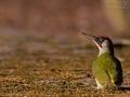 Grünspecht, Green Woodpecker, Picus viridis