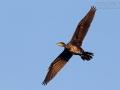 Kormoran, Cormorant, Phalacrocorax carbo