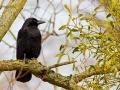 Rabenkrähe, Carrion Crow, Corvus corone