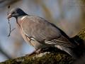 Ringeltaube, Common Wood Pigeon, Columba palumbus