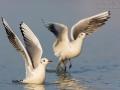 Lachmöwe, Black-headed Gull,  Gull, Larus ridibundus
