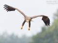 Seeadler, White-tailed Eagle, Haliaeetus albicilla