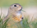 Ziesel, European Ground Squirrel, Spermophilus citellus