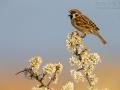 Feldsperling, Tree Sparrow, Passer montanus