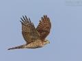 Sperber, Sparrowhawk, Accipiter nisus