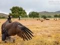 Mönchsgeier, Black Vulture, Aegypius monachus