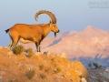 Nubischer Steinbock, Nubian Ibex, Capra nubiana