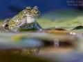 Wechselkroete, European Green Toad, Bufo viridis