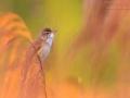 Drosselrohrsänger, Great Reed Warbler, Acrocephalus arundinaceus