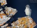 Schneesperling, Snow Finch, Montifringilla nivalis