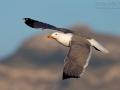 Mittelmeermöwe, Western Yellow-legged Gull, Mediterranean Yellow-legged Gull, Yellow-legged Gull, Larus cachinnans michahellis, Larus michahellis