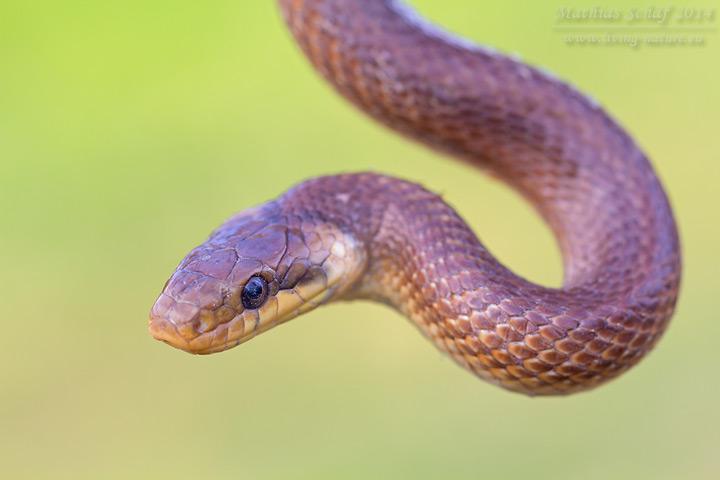 Äskulapnatter, Zamenis longissimus, Elaphe longissima, Aesculapian snake