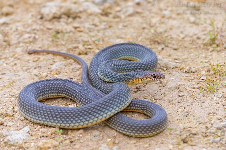 Balkan-Springnatter, Dolichophis caspius, Caspian whipsnake