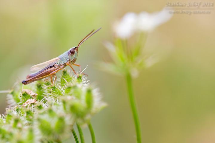 Gemeiner Grashüpfer, Chorthippus parallelus, meadow grasshopper