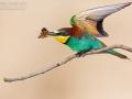 Bienenfresser, European Bee-eater, Merops apiaster