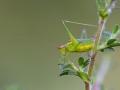 Punktierte Zartschrecke, Leptophyes punctatissimam, speckled bush-cricket
