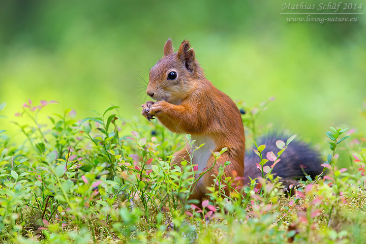 Eichhörnchen, Sciurus vulgaris vulgaris, red squirrel
