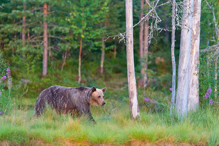 Europäischer Braunbär, Ursus arctos arctos, Eurasian brown bear