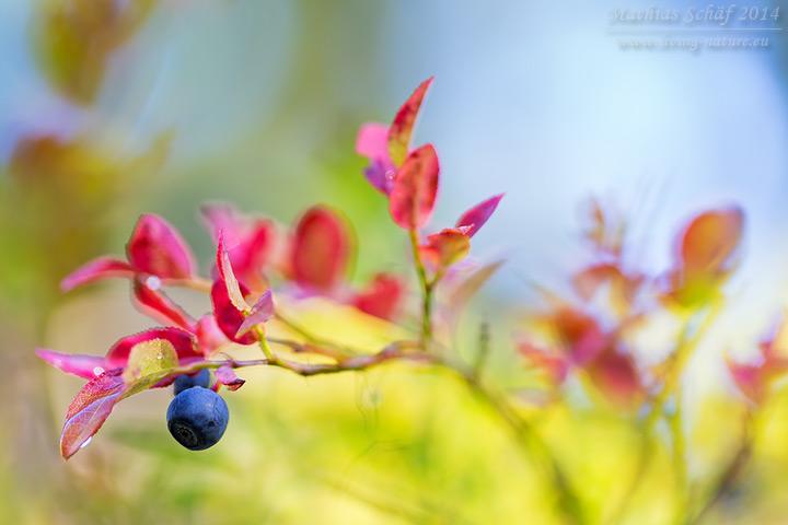 Heidelbeere, Vaccinium myrtillus, European blueberry