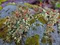 Becherflechte, Cladonia, cup lichen