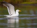 Heringsmöwe, Lesser Black-backed Gull, Larus fuscus