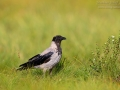 Nebelkrähe, Hooded Crow, Corvus corone cornix