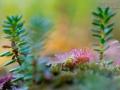 Rundblättriger Sonnentau, Drosera rotundifolia, common sundew