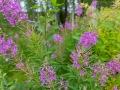 Schmalblättriges Weidenröschen, Epilobium angustifolium, fireweed