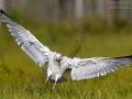 Silbermöwe, Herring Gull, Larus argentatus