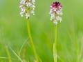 Brand-Knabenkraut, Orchis ustulata, burnt orchid