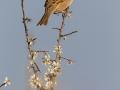 Feldsperling, Eurasian Tree Sparrow, Passer montanus