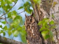 Waldohreule, Long-eared Owl, Asio otus